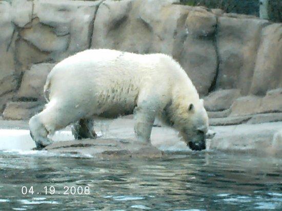 Toledo, OH: polar bear