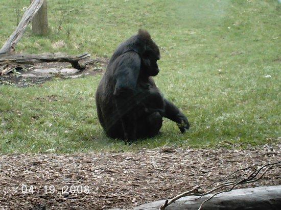 Toledo, OH: gorilla