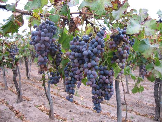 Conalbi Grinberg Casa Vinicola: Ready for the harvest!