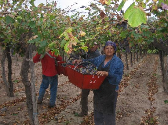 Conalbi Grinberg Casa Vinicola: The harvest!