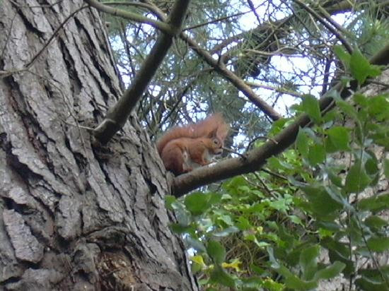 Rylstone Manor Hotel : Red squirrel in garden of Rylstone Manor