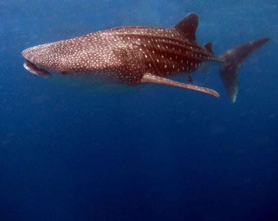 Mirihi Island Resort: whale shark