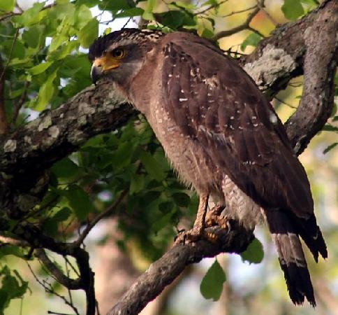 Bandipur, Inde : Crested Serpant Eagle
