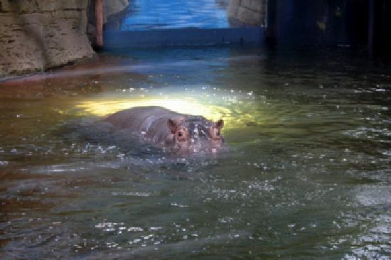Adventure Aquarium: Hippos!