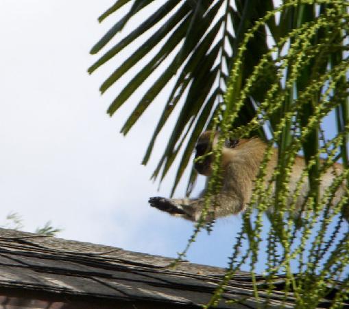 Settlers Beach Villa Hotel: Monkey on the move