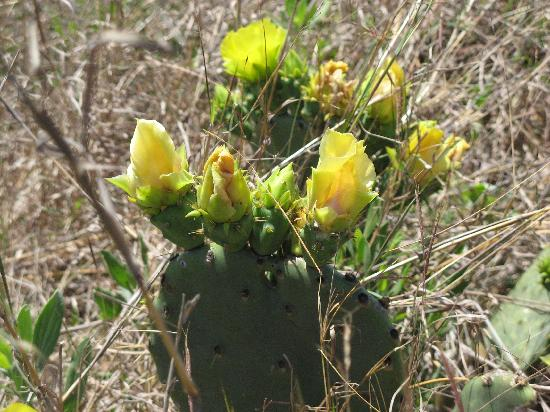 Lady Bird Johnson Wildflower Center: Yellow Rose of Texas