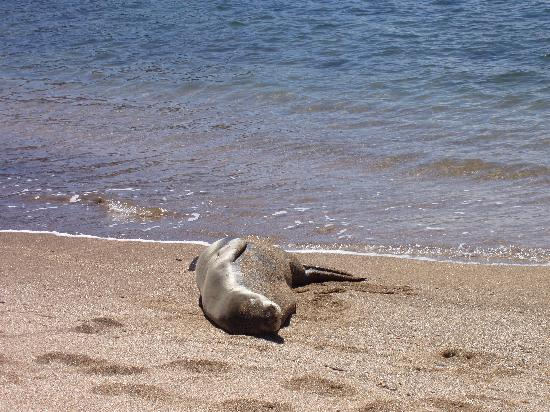 Regency Resorts Condominiums: Monk seals are endangered and protected.  Abou 35 live around Kauai and sun on the beaches.