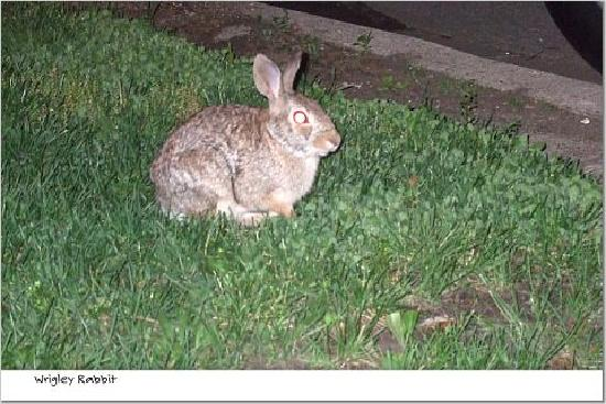 Chicago Guest House: Neighborhood rabbit
