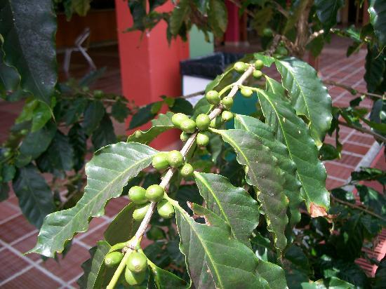 Parque del Café: Café sin madurar en rama