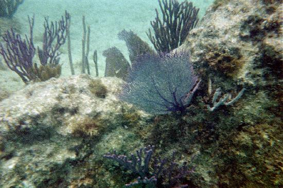 St. George, Bermuda: Awesome pic. of coral