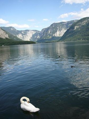 Swan at Hallstatt Lake