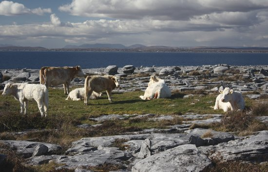 Ballyvaughan, Irland: Ireland: co. Clare - Cattle at Fanore