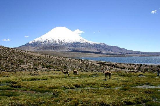 Arica, Chile: Vicuñas