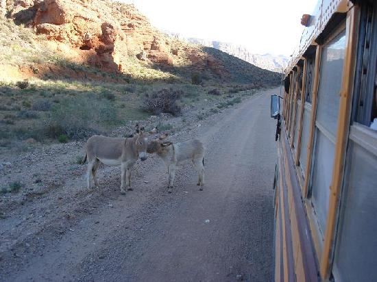 Hualapai River Runners: The wild burros on the way to the river