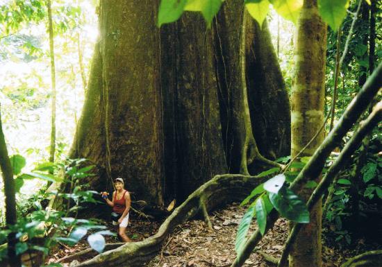 Marenco Beach & Rainforest Lodge : big tree near the lodge