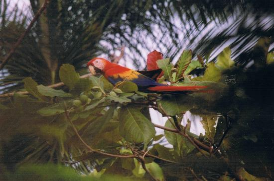 Marenco Beach & Rainforest Lodge : scarlet macaw near on the grounds