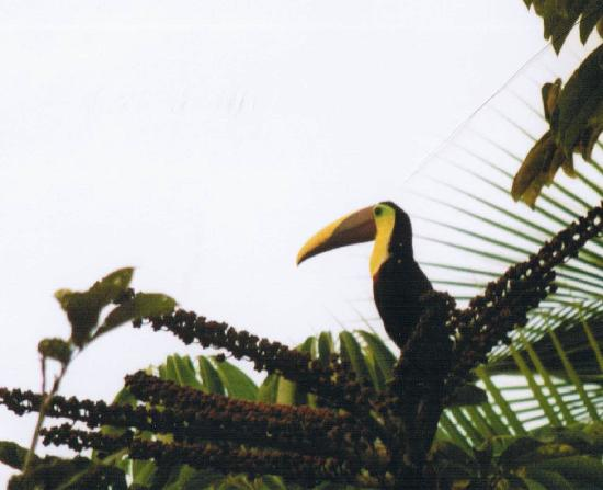 Marenco Beach & Rainforest Lodge: toucan--taken from our room