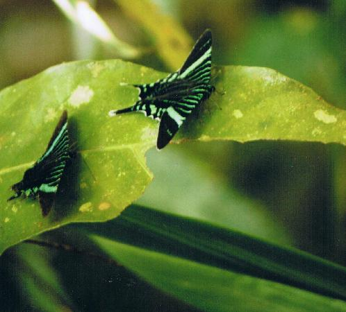 Marenco Beach & Rainforest Lodge: one of clouds of Urania moths by the lodge