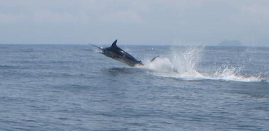 Pinas Bay, Panama: 400# Black Marlin