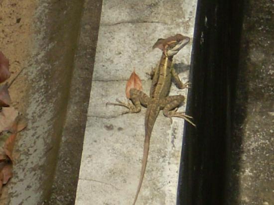 Pinas Bay, Panama: lots of basilisk lizards
