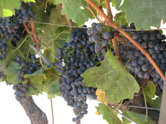 Sonoma, Kalifornien: The vinyards, ready to pick
