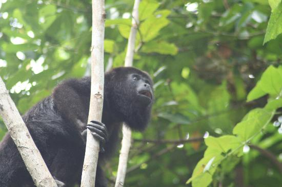 Pook's Hill Lodge: Howler monkey