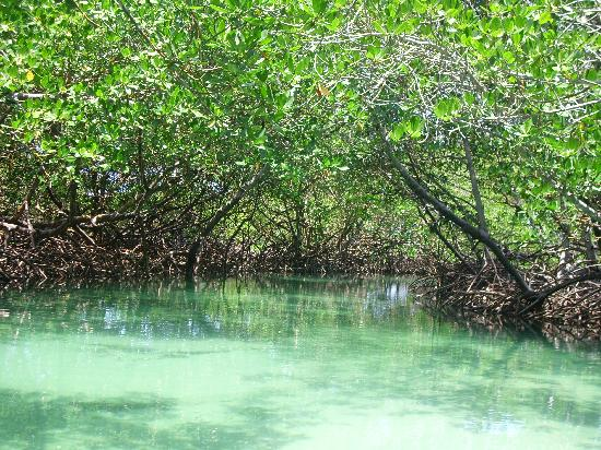 Paradise Island & The Mangroves (Cayo Arena): mangrove plantation