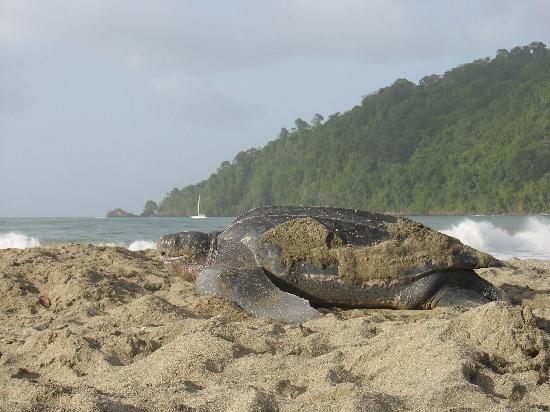 Le Grande Almandier: A leatherback turtle returning to the sea after laying