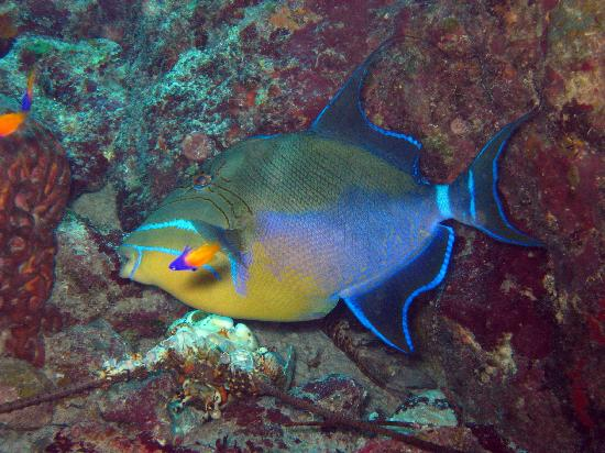 Little Cayman: Queen Triggerfish