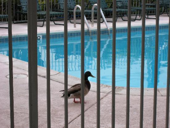 La Avenida Inn: Resident duck