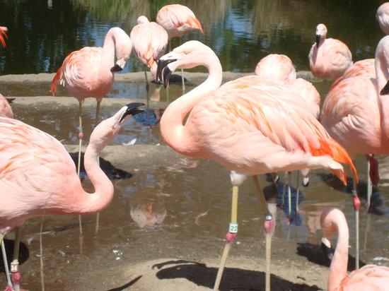San Francisco Zoo: flamingos