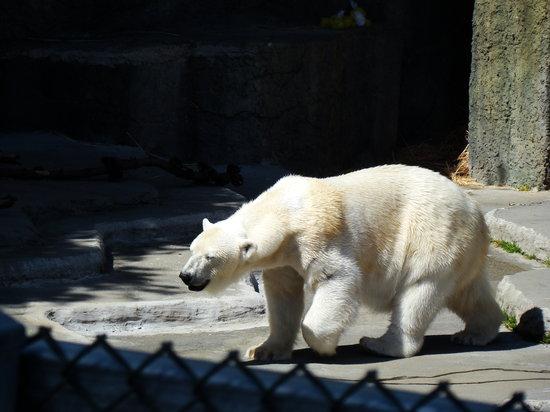 San Francisco Zoo: polar bear