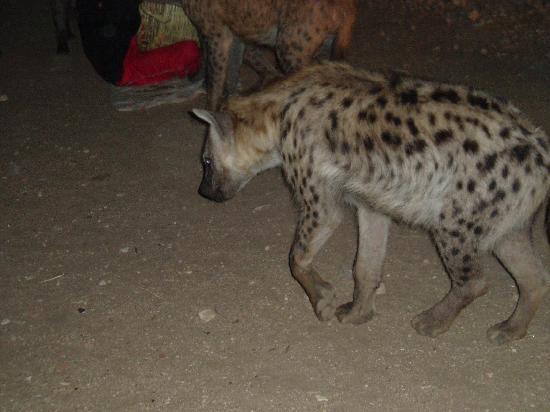 Harar, Etiopia: le repas des hyènes