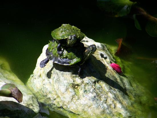 Blue Cave Castle: Baby Turtle Chillin @ BCC Turtle Pond