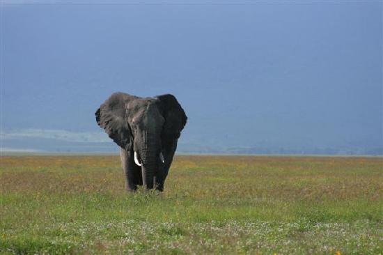 Ngorongoro Crater: grasende Elefanten
