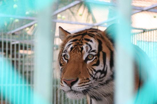 Paradise Village Beach Resort & Spa: Tiger