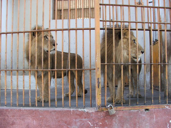 Каир, Египет: lions in their tiny cages