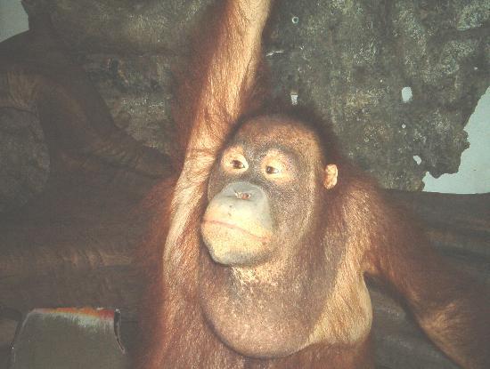 Phuket Zoo: The orangatang