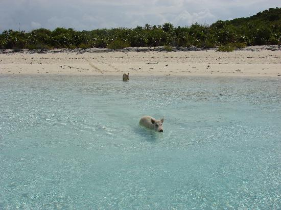 Fowl Cay Resort : Big Major's Famous Swimming Pigs