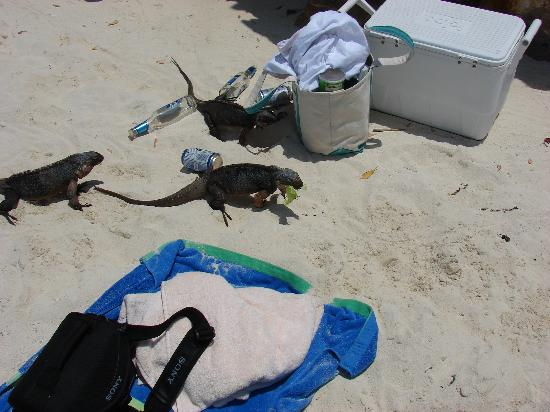 Fowl Cay Resort: Rock Iguanas
