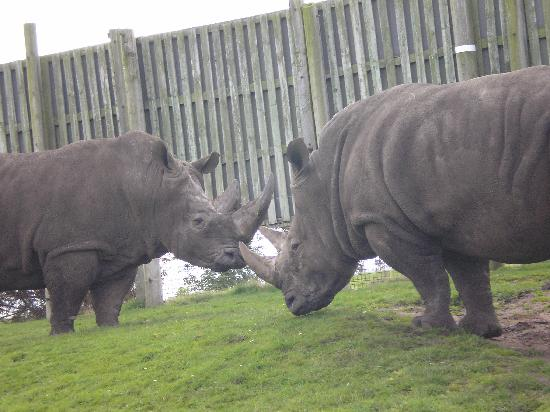 Bewdley, UK: rhinos