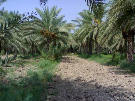 Abadan, อิหร่าน: Date palms
