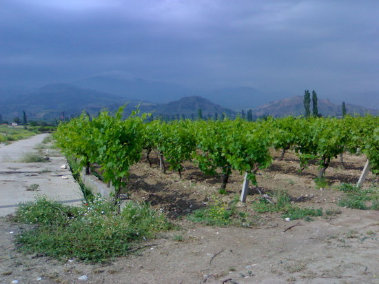 Izmir, Tyrkia: Turkish grape vines - where your Sultana's & Raisins come from