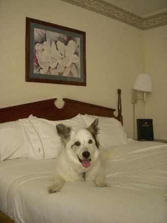 Holiday Inn Express Lynchburg: My dog sat on the bed just to take pictures.