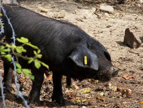 Hotel Celo Garden: Die berühmten Schwarzen Schweine von Mallorca -