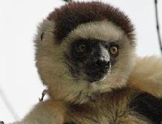 Madagaskar: Lémurien - Sifaka