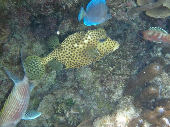 Tropical Breeze Bed & Breakfast: Honeycomb trunkfish
