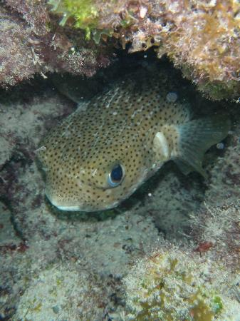 Tropical Breeze Bed & Breakfast: Porcupine pufferfish