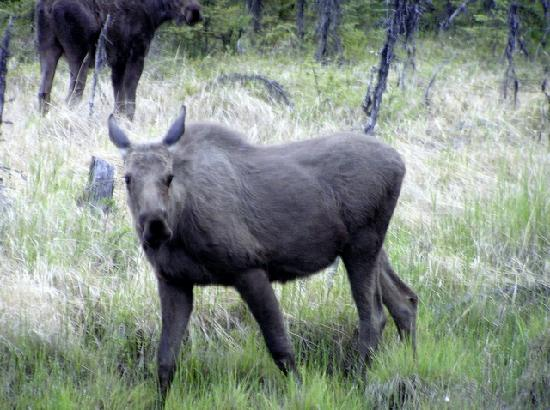 Capt'n Lou's Ptarmigan Lodge: Moose on the Hiway to Homer