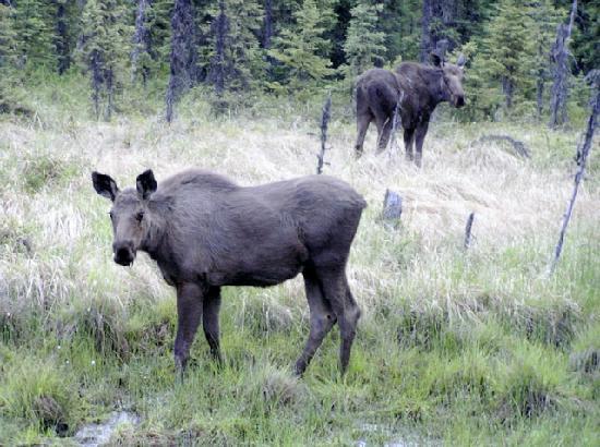 Capt'n Lou's Ptarmigan Lodge: More Moose